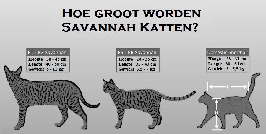 Hoe groot wordt een savannah Kat